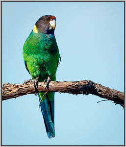 Australian Ringneck    (Twenty-eight Parrot)