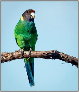 Australian Ringneck(Twenty-eight Parrot)
