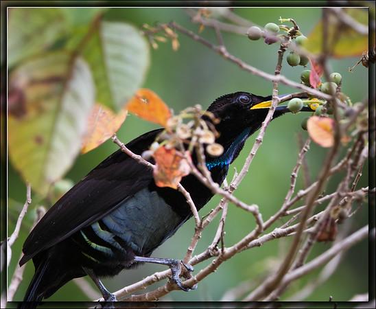Victoria's Riflebird♂