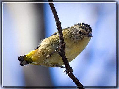 Spotted Pardalote    ♀