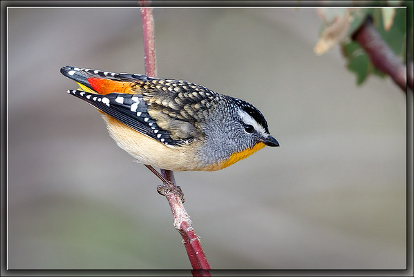 Spotted Pardalote    ♂