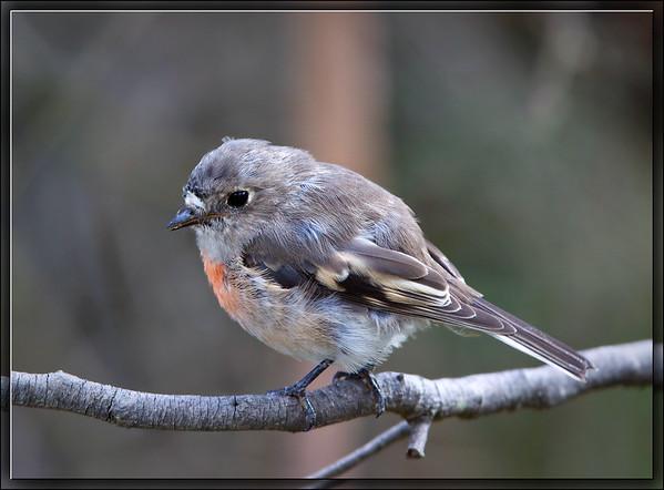 Scarlet Robin♀