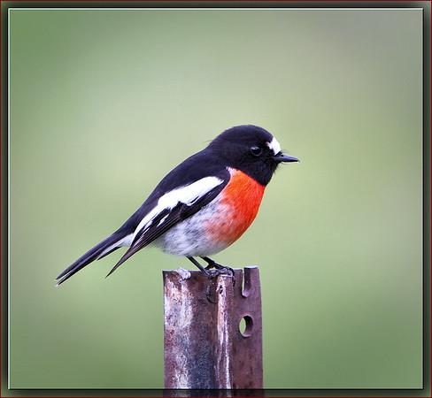 Scarlet Robin♂