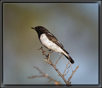 Hooded Robin   ♂