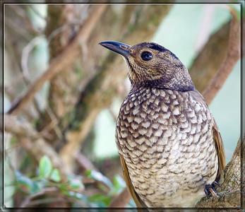 Regent Bowerbird♀