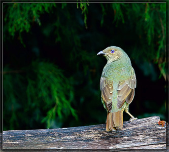 Satin Bowerbird♀
