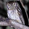 Tropical Screech-Owl