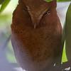 Serendip Scops-Owl