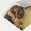 Lesser Antillean Ashy-faced Owl