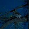 Whiskered Screech-Owl (Arizona)
