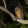 Ashy-faced Owl (Dominican Republic)