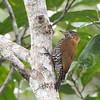Choco Woodpecker (Ecuador)