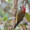 Yellow-vented Woodpecker (Ecuador)