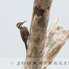 Fire-bellied Woodpecker (Ghana)
