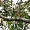 Little Green Woodpecker (Ghana)