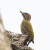 Melancholy Woodpecker (Ghana)