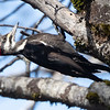 Pileated Woodpecker, California