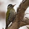 Streak-throated Woodpecker (India)