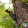 Lesser Yellownape (India)
