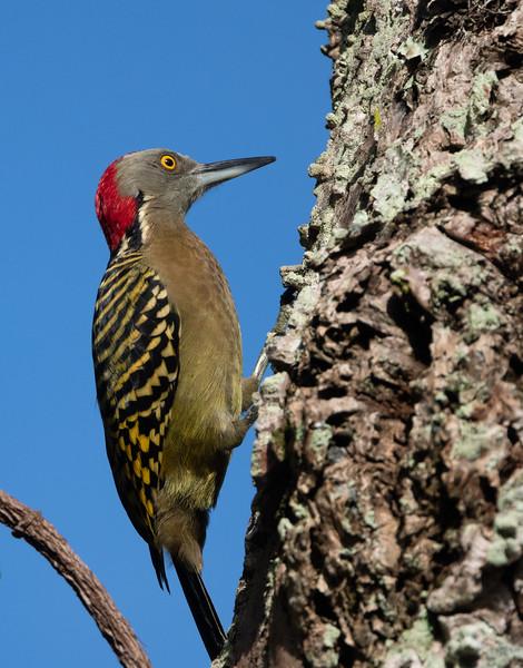 Hispaniolan Woodpecker (Dominican Republic)