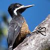 Powerful Woodpecker (Ecuador)
