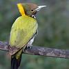 Greater Yellownape (India)