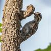 Brown-backed Woodpecker (Ghana)