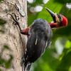Splendid Woodpecker (Ecuador)
