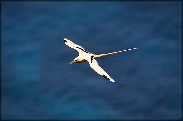 White-tailed Tropicbird  (Golden Bosunbird)