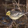 Citrine Wagtail (India)