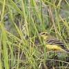 Yellow Wagtail (Kenya)