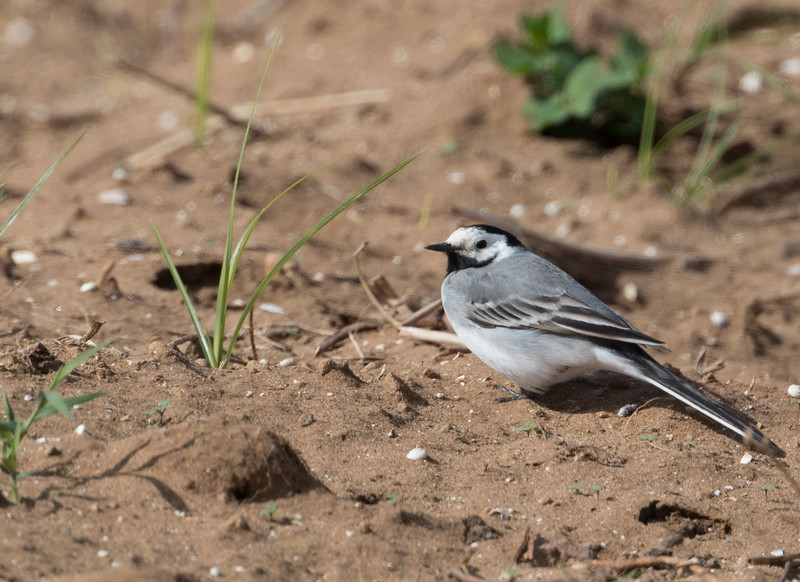 European White Wagtail (migrant in Morocco)
