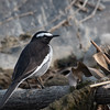 White-browed Wagtail (India)