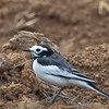 Hodgson's White Wagtail (south China)