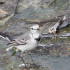 Swinhoe's White Wagtail (California)