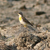 Eastern Yellow Wagtail? (Thailand)