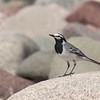 Moroccan White Wagtail