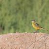 Iberian Yellow Wagtail (Morocco)