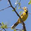 Yellow-throated Longclaw (South Africa)