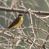 ? Yellow Wagtail (Kenya)