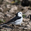 White-faced White Wagtail (China)