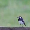 British Pied White Wagtail (United Kingdom)