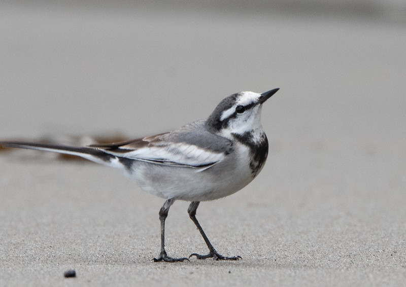 Black-backed White Wagtail (California)