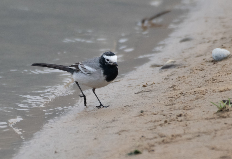 Hodgeson's White Wagtail (China)
