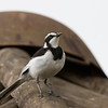 African Pied Wagtail (Kenya)