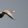 Bar-headed Goose (India)