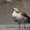 Egyptian Goose (Kenya)