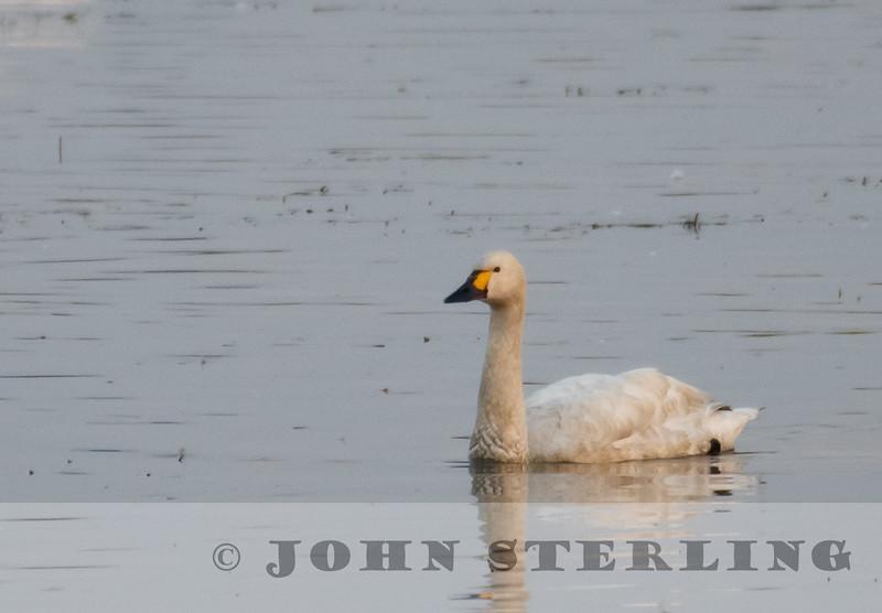 Bewick's Tundra Swan (China)