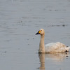 Bewick's Tundra Swan (China)