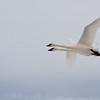 Trumpeter Swan (California)